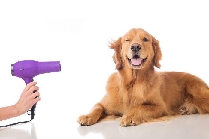 purple hair dryer being pointed at golden retriever dog