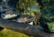 a photograph of New Zealand long finned eels