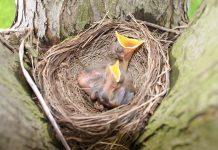 baby birds spring