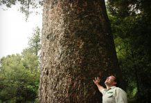 A photograph of a person standing next to a Kauri tree